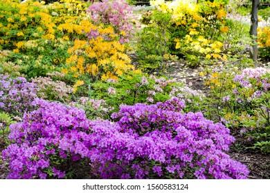 Violet, yellow and pink azalea flowers bloom in spring garden