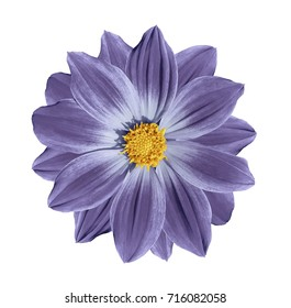 Violet-blue flower daisy on a white isolated background with clipping path. Closeup. Nature.
