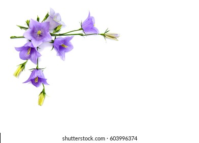 Violet-blue flowers Campanula persicifolia (peach-leaved bellflower) on a white background with space for text. Top view, flat lay