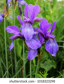violet-blue flowers of wild iris, covered with drops of summer rain, on a green background of meadow grasses