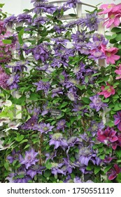 Violet-blue large-flowered double Clematis Multi Blue blooms on an exhibition in May 2014