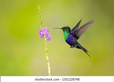 Violet-crowned woodnymph (Thalurania colombica colombica), also known as the purple-crowned woodnymph, is a medium-sized hummingbird found from Central America