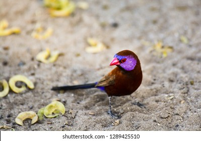 A Violet-eared Waxbill on the ground. Taken in the Central Kalahari Game Reserve in the Kalahari Desert, Central Botswana