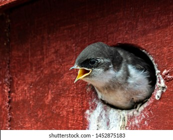 Violet-green Swallow Chick. A hungry swallow chick waiting for a food drop off.