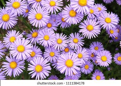 Violet-lavender Alpine aster flowering in summer garden