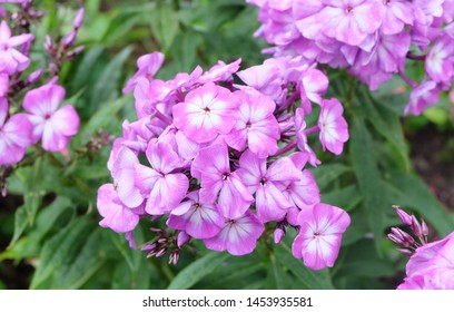 Violet-pink phlox blooming on a bed in the summer in the park.