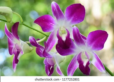 Violet-Purple Orchid flower