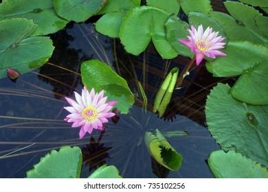 Violets bloom in the pond