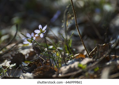 Violets in colors at spring