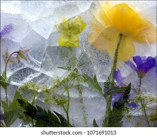 Violets embedded in Ice