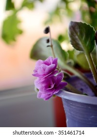 Violet's flowers in a pot