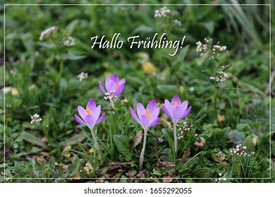 """Violett crocuses bloom. With elegant frame and font. With text Hello Spring in german: """"Hallo Fruhling"""". - Shutterstock ID 1655292055"""