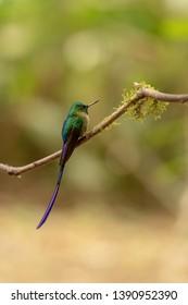 Violet-tailed Sylph Hummingbird (Aglaiocercus coelestis) - On a Perch
