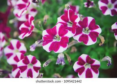 Viollet flower in nature