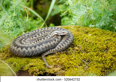 Viper resting on mossy stone. natural image of tucked crawl viper snake