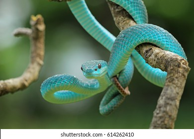 Viper snake
