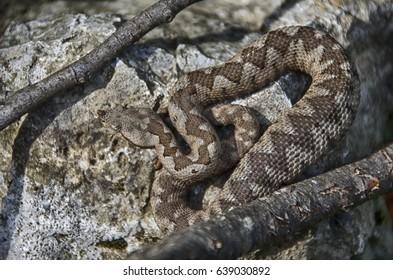 Viper snake on a rock (Vipera ammodytes)