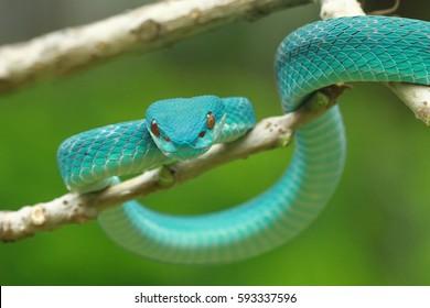 viper snake, Sunda Pit Viper Trimeresurus insularis