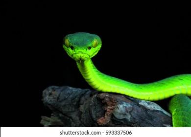 viper snake, White-lipped tree viper Trimeresurus albolabris