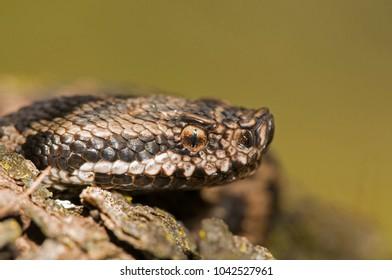 Vipera aspis (asp viper)