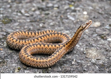 Vipera berus, the common European adder or common European viper, is a venomous snake that is widely widespread. Common crossed viper in natural habitat. Close-up picture.