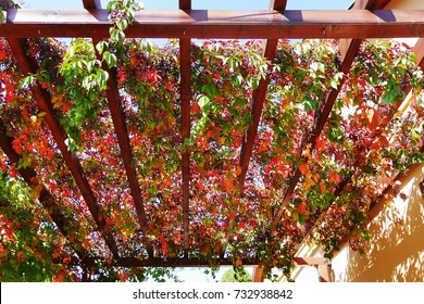 Virginia creeper autumn leaves and berries covering a wooden pergola attached to a house wall (Parthenocissus quinquefolia)