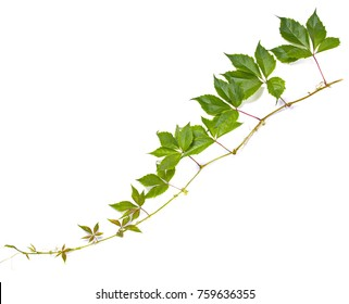 Virginia creeper on a white background isolated hanging