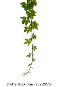 Virginia creeper twig isolated