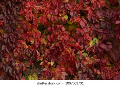 Virginia Creeper's leaves. Autumn colorful leaves. Deep red leaves.