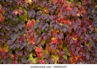Virginia Creeper's leaves. Autumn colorful leaves. Yellow to dark leaves.