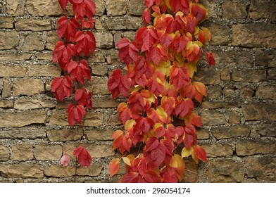 Virginia Creeper's leaves. Autumn colorful leaves. A few leaves.