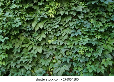 Virginia Creeper's leaves on wall. Green leaves.