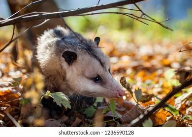 The Virginia opossum, Didelphis virginiana, in autumn park