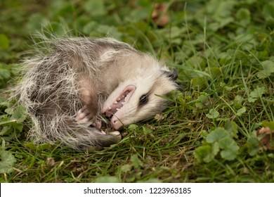 Virginia opossum, didelphis virginiana,  baby playing dead.