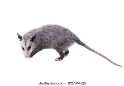 The Virginia opossum (Didelphis virginiana), commonly known as the North American opossum. Isolated on white background