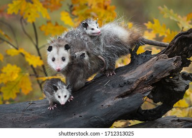 Virginia Opossum (Didelphis virginiana) Family Stares Out From Log Autumn - captive animals