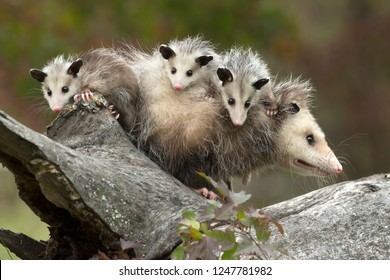 Virginia opossum, didelphis virginiana, female with babies under controlled conditions.