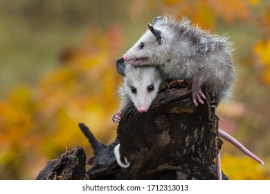 Virginia Opossum (Didelphis virginiana) Joeys Huddle Together Atop Log Autumn - captive animals