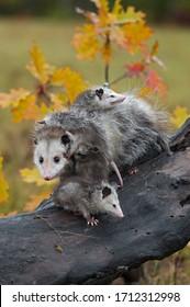 Virginia Opossum (Didelphis virginiana) Mutter bezwingt Joeys Klettern auf ihrem Herbst - in Gefangenschaft lebende Tiere