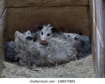 Virginia Opossum mother and babies