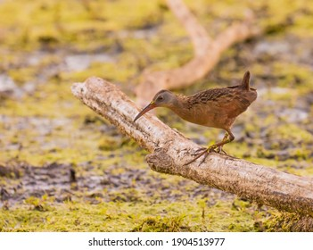 A Virginia Rail perched on a log over the marsh water