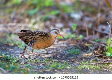 Virginia rail searching for food on the banks of a swamp in north Quebec, Canada.