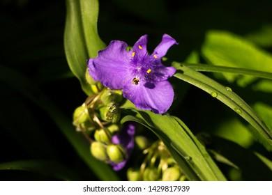 Virginia Spiderwort (Tradescantia virginiana) blooms in garden, background. Tradescantia ohiensis known as bluejacket or Ohio spiderwort