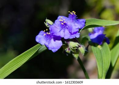 Virginia Spiderwort (Tradescantia virginiana) close up in the garden. Tradescantia ohiensis, commonly known as bluejacket or Ohio spiderwort