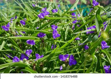 Virginia Spiderwort (Tradescantia virginiana) in garden. Tradescantia ohiensis, commonly known as bluejacket or Ohio spiderwort