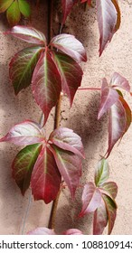 Virginian Creeper leaves on a textured background.   Close up in natural setting