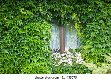 Virginian creeper - White and purple surfinia flowers decorating a window of a house covered by green creeping plant