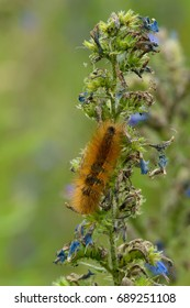 Virginian Tiger Moth Caterpillar, the larval form of a Virginia Tiger Moth, eats away at a Viper's Bugloss flower. Tommy Thompson Park, Toronto, Ontario, Canada.