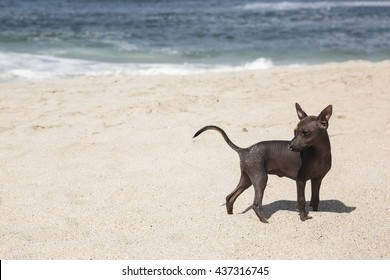 Viringo or Peruvian naked dog at beach