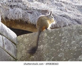 Viscacha living in Machu Picchu